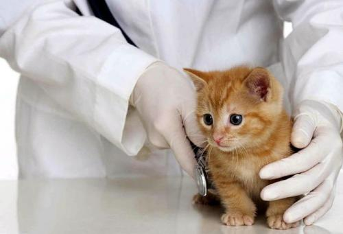 diagnostico leucemia felina