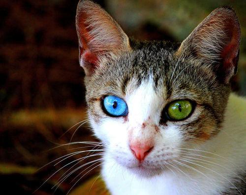 síntomas de la leucemia en los gatos