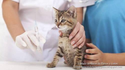 tratamiento leucemia felina