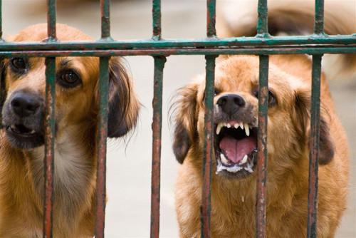 cómo se contagia la rabia en os perros