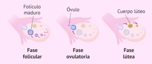fases de la ovulación
