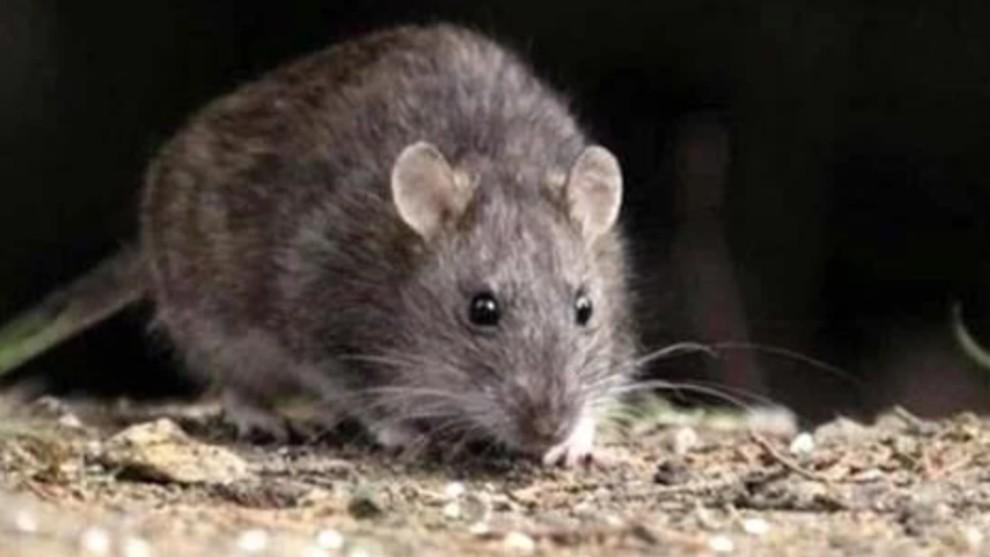 mordedura de rata prevencion